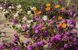 Borregospringsdesertwildflowers52_3