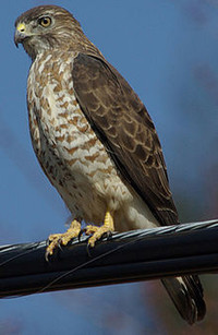 220pxjulie_waters_broad_winged_hawk