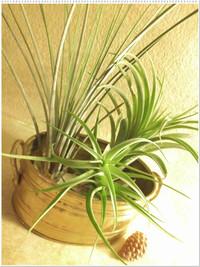 Air_plants_2