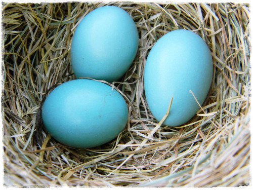 American_robin_eggs_in_nest