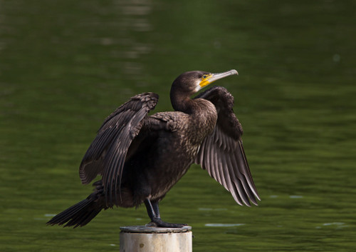 Great_cormorant_26_september_2015_o
