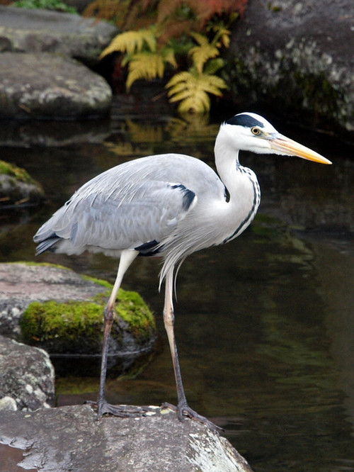 Grey_heron_dec_20_2012_2